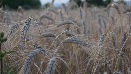detail of wheat field against blue background 写真素材 - 150991251