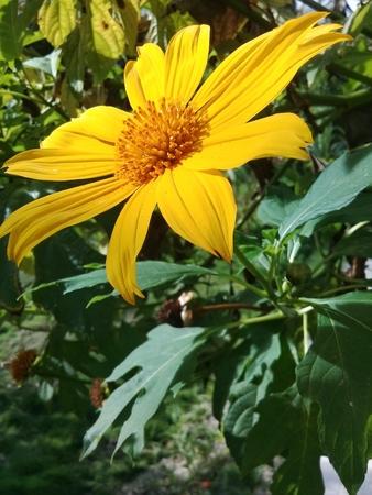 A beautiful yellow daisy flower in the garden Reklamní fotografie