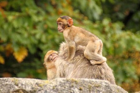 barbary: Barbary Macaque family