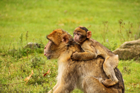 Barbary Macaque with child