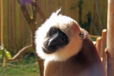 semnopithecus: Hanuman langur