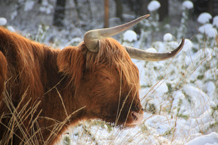 domestication: Scottish highlander in the snow Stock Photo