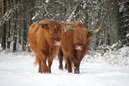 highlander: Scottish highlanders in the snow