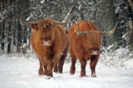 Scottish highlanders in the snow
