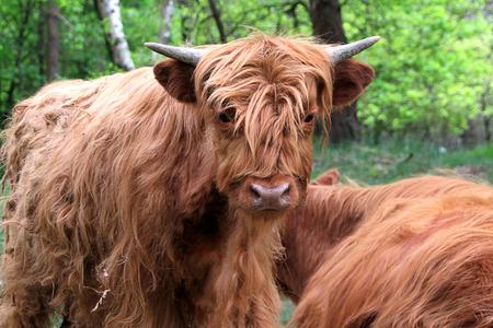 highlander: Becerro escocés montañés