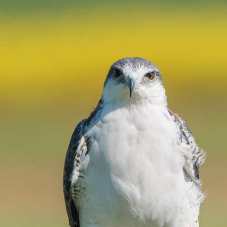 Variable Hawk (Geranoaetus polyosoma)