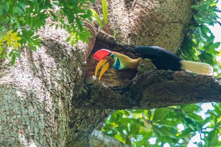 Celebes hornbill (Rhyticeros cassidix) Imagens