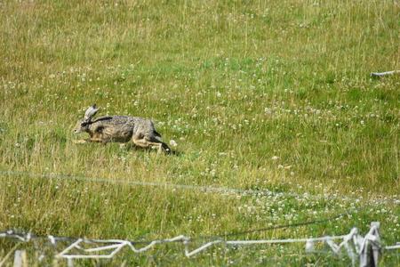 patagonian hare running away