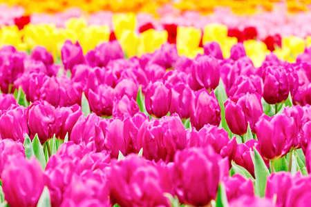 bulb fields: tulips garden