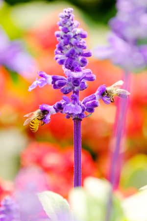 Honey Bee collecting pollen on flower Archivio Fotografico - 119497890