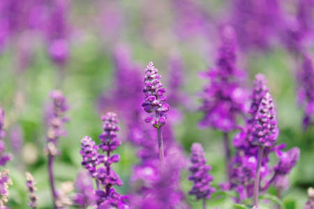 Purple lavender flower Archivio Fotografico - 119497909