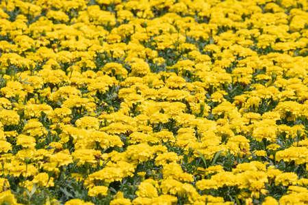 Yellow chrysanthemum flowers Archivio Fotografico - 119655901