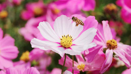 Honey Bee collecting pollen on flower
