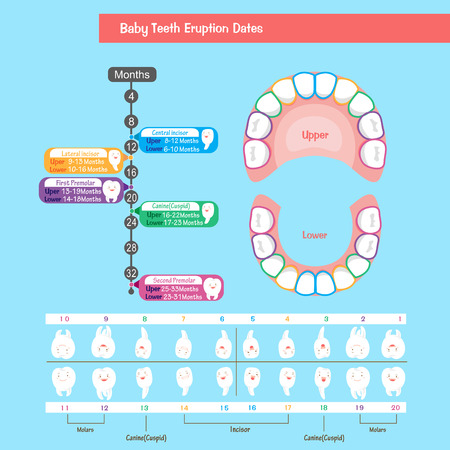 Baby tooth chart illustration.