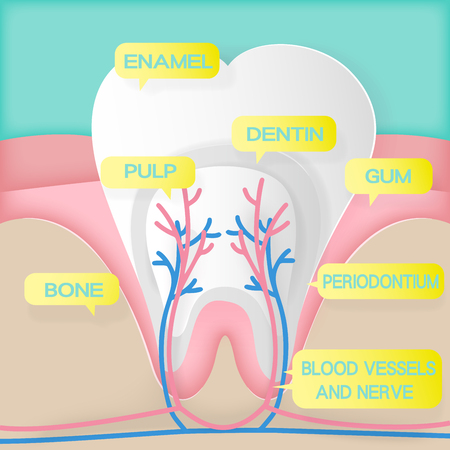 cute cartoon tooth structure on the green background Illustration