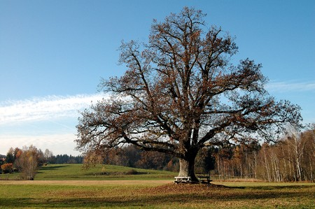 oak tree with benches in autumn