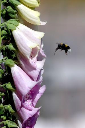 bumble bee approaching a foxglove photo