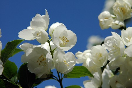 philadelphus: Blooming mock orange Stock Photo