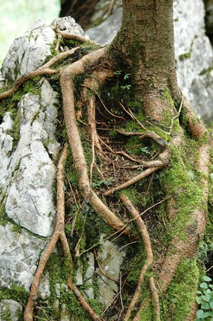 roots of a tree cramp at a rock Stock Photo