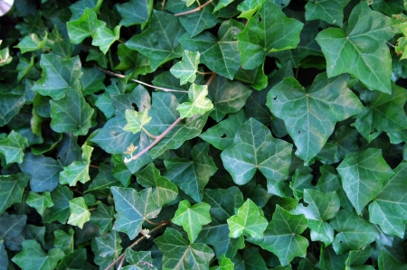 ivy leaves in a garden, creeper plant, background