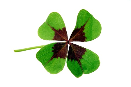 clover isolated on white photo