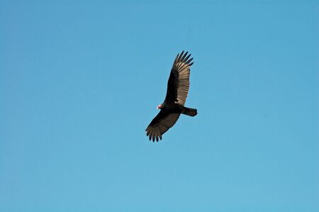 spreaded: artistic flying black vulture with red face