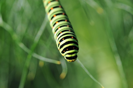 caterpillar of a swallowtail on fennel Stock Photo - 16173326