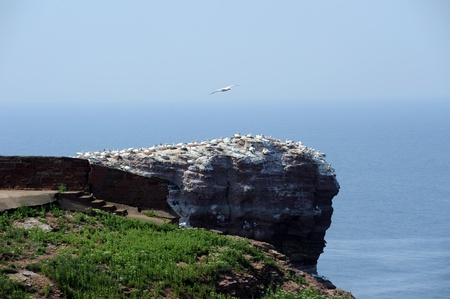 northern gannets on a rock called  Stock Photo