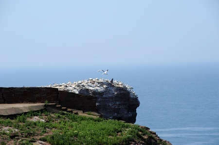 northern gannets on a rock called  photo