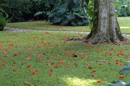 tulip tree, liriodendron tulipifera, fallen blossoms