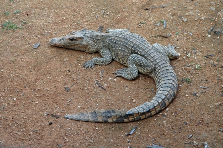 Young crocodile resting Stock Photo - 18206369