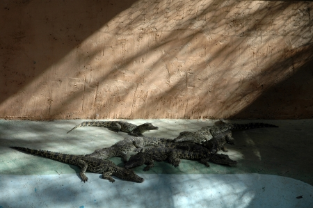 Young crocodile resting Stock Photo