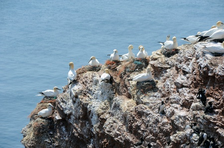 northern gannets breeding on a rock photo