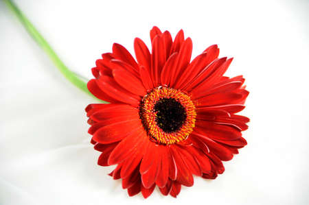 Red Gerbera isolated ón white Stock Photo - 18621763