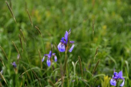siberian iris on a meadow
