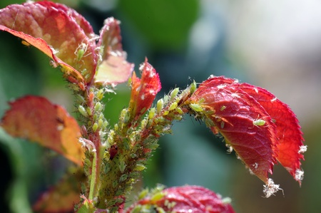 greenflies infestion at a rose