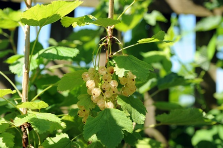 white currants on a branch