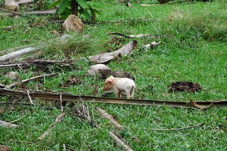 wild living pigs in cuba Stock Photo