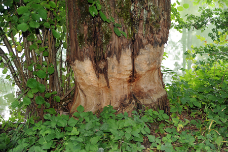 gnaw: gnaw marks of a beaver at a tree trunk Stock Photo