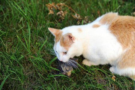 red and white cat with hunted down bird