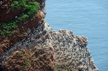 northern gannets and guillemot breeding in a rock