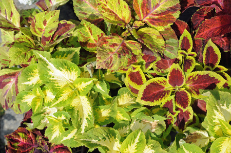 Coleus, also called painted nettle