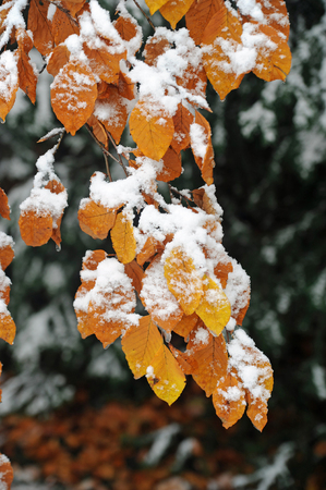 snow on leaves of a beech