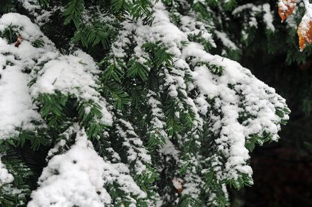 snow on the branches of a spruce