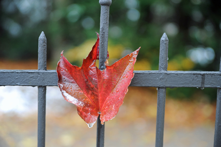 spiked colourful autumn leave an o fence of metal Stock Photo