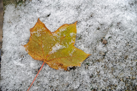 yellow leave on snowy ground