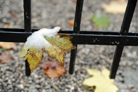 caught leave on fence of metal with snow