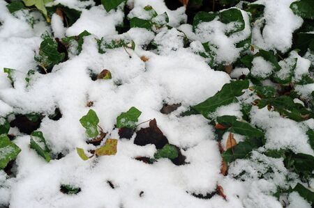 background of snowy ivy leaves