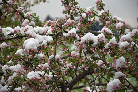 Blooming apple tree with snow Stock Photo