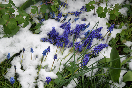 Grape hyacinth covered with snow